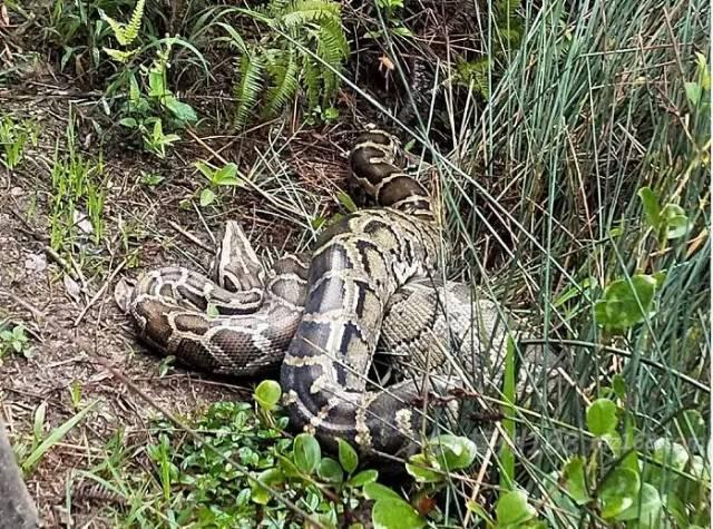 五华郭田发现一条大蟒蛇,好多鸡被吃!